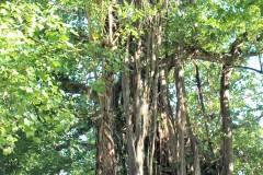 ...riesiger Baum mit gigantischen Luftwurzeln